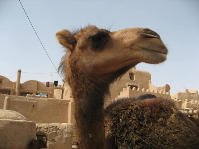 camello garmeh