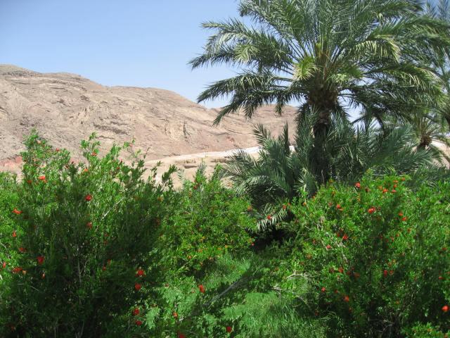 palmeras garmeh 2